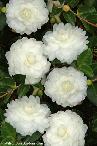 October Magic White Shishi Gashira Dwarf Camellia Sasanqua - 3 Gallon Pot