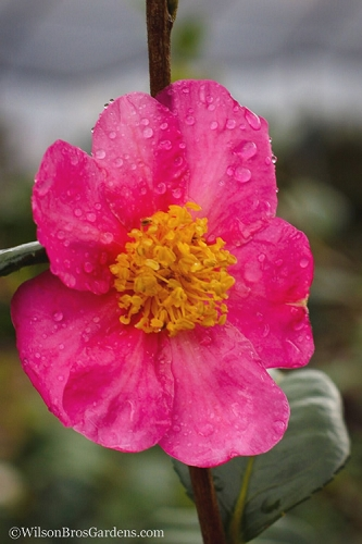 Winter's Star Cold Hardy Camellia - 1 Gallon Pot