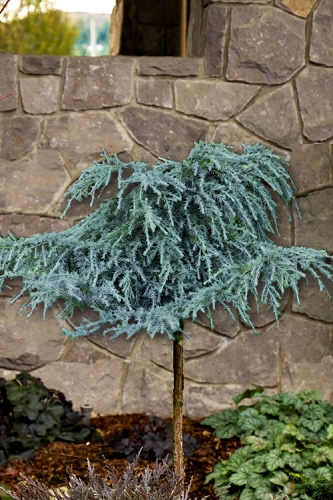 Feelin Blue Deodar Cedar (Single Trunk Tree Form) - 3 Gallon Pot