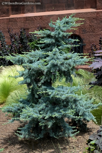 Horstmann Dwarf Blue Atlas Cedar - 1 Gallon Pot