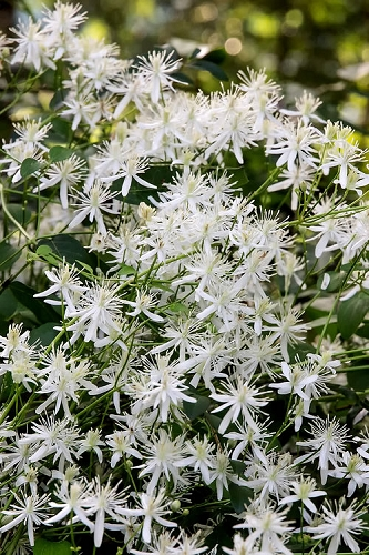 Sweet Autumn Clematis terniflora - 1 Gallon Pot