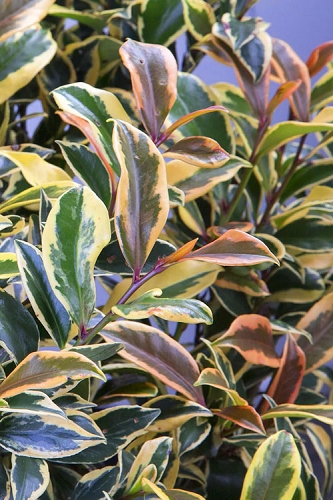 Romeo Variegated Cleyera Japonica - 2 Gallon Pot