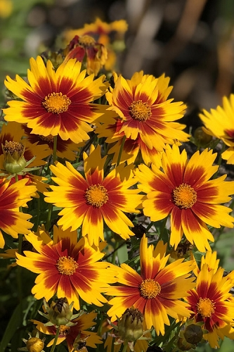 Coreopsis Uptick Gold And Bronze - Quart Pot