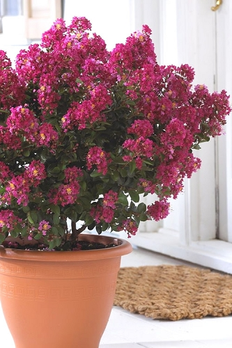 Berry Dazzle Dwarf Crape Myrtle - 3 Gallon Pot