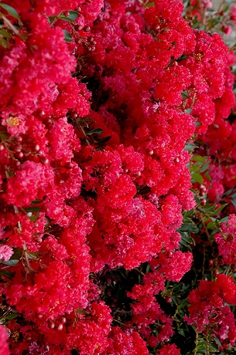 Cherry Dazzle Dwarf Crape Myrtle - 2 Gallon Pot