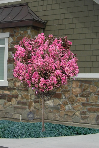 Delta Jazz Crape Myrtle - Single Trunk Topiary Tree - 5 Gallon Pot