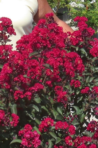 Double Dynamite Crape Myrtle - 2 Gallon Pot - SALE