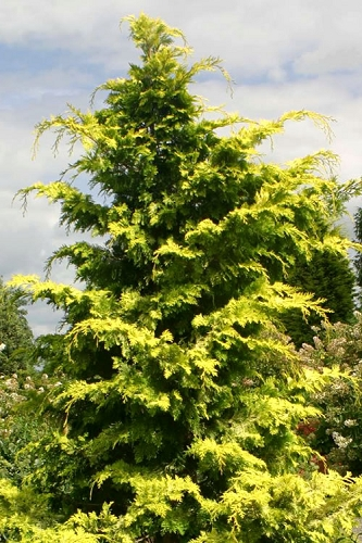 Crippsii Golden Hinoki Cypress - 3 Gallon Pot