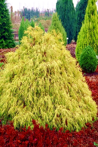 Gold Mop Threadleaf Cypress - 1 Gallon Pot