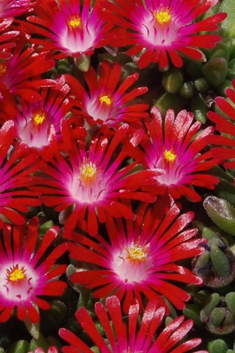 Saucy Strawberry Red Ice Plant (Delosperma) - 5 Pack of Pint Pots