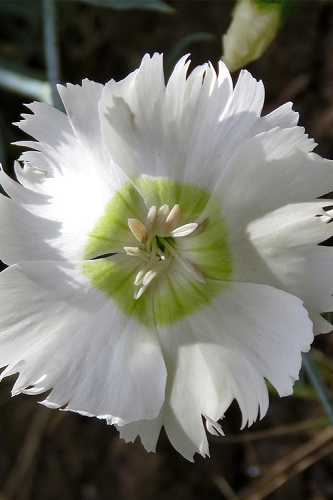 Charles Musgrave White Dianthus - 1 Gallon Pot