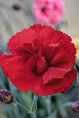 Super Trouper Velvet Red Dianthus (Carnation) - 5 Pack of Quart Pots