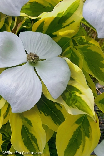Celestial Shadow Variegated Dogwood - Cornus kousa x florida - 3 Gallon Pot