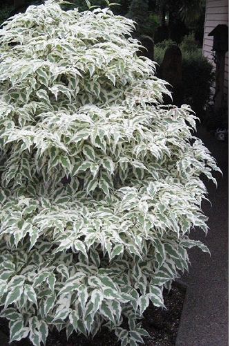 Summer Fun Variegated Dogwood - Cornus kousa - 5 Gallon Pot