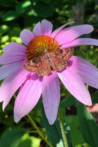 Purple Coneflower (Echinacea) - 1 Gallon Pot
