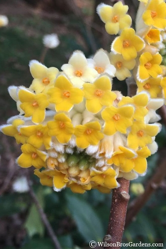 Edgeworthia chrysantha - Paper Bush - 3 Gallon