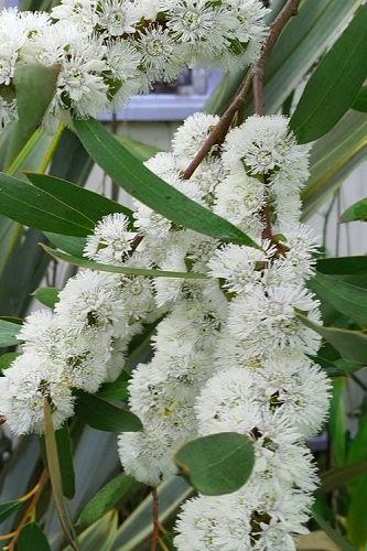 Snow Day Cold Hardy Eucalyptus Tree (Eucalyptus gregsoniana) - 1 Gallon Pot