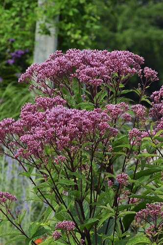 Eupatorium dubium 'Baby Joe' (Joe Pye Weed) - 1 Gallon Pot