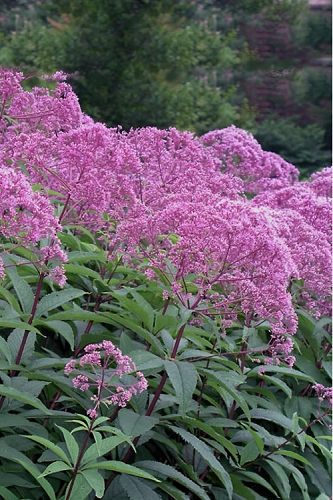 Eupatorium maculatum 'Gateway' (Joe Pye Weed) - 1 Gallon Pot