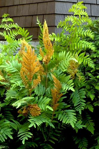 Royal Fern (Osmunda regalis) - 1 Gallon Pot