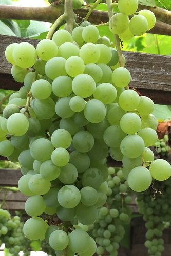 Himrod Seedless Grape Vine - 2 Gallon Pot