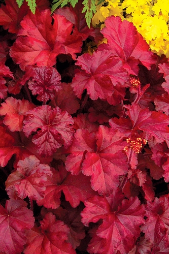 Fire Chief Heuchera (Coral Bells) - 3-Pack of Quart Pot
