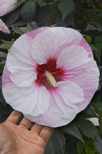 Summerific Perfect Storm Hibiscus - Rose Mallow - 2 Gallon Pot