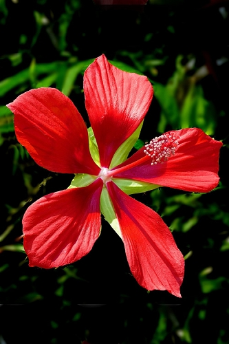 Red Swamp Hardy Hibiscus (Texas Star) - 1 Gallon