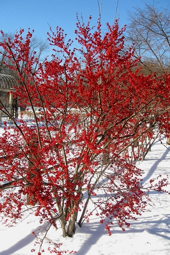 Winter Red Female Winterberry Holly - 3 Gallon Pot