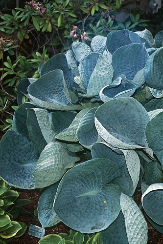Abiqua Drinking Gourd Hosta Lily - 1 Gallon Pot - ON SALE!