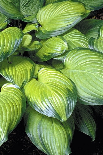 Guacamole Hosta Lily - 6 Pack of 1 Gallon Pots
