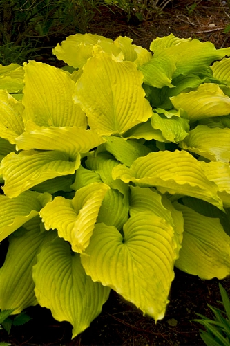 Coast To Coast Hosta Lily - 1 Gallon Pot