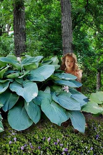 Empress Wu Giant Hosta Lily