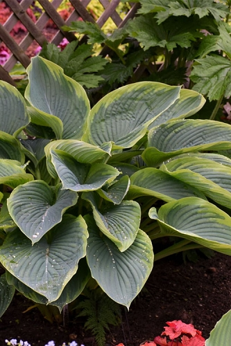 Wu La La Hosta Lily - 6 Pack of 1 Gallon Pots