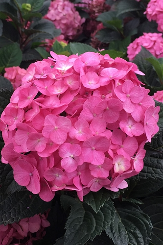 After Midnight Hydrangea - 1 Gallon Pot