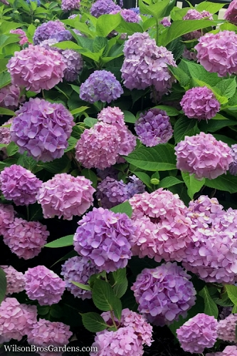 All Summer Beauty Hydrangea - 3 Gallon Pot