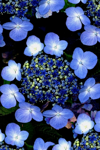 Blue Wave Lacecap Hydrangea - 3 Gallon Pot
