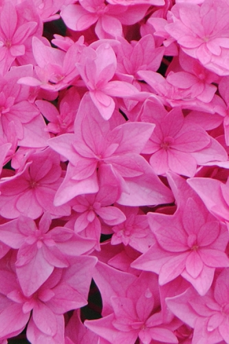 Double Delights Perfection Hydrangea - 2 Gallon Pot