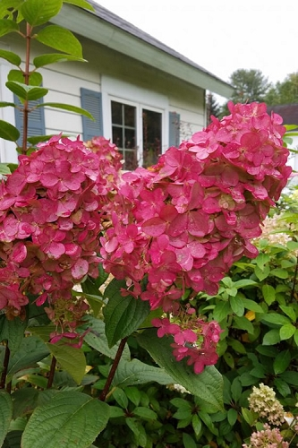 Fire Light Hydrangea - 3 Gallon Pot