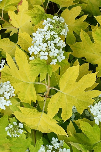 Little Honey Oakleaf Hydrangea - 1 Gallon Pot