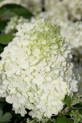 Moon Dance Hydrangea - 3 Gallon Pot