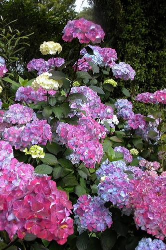 Preziosa Multi Color Hydrangea - 3 Gallon Pot