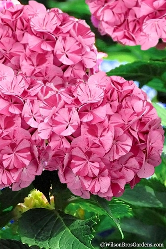 Sweet Fantasy Hydrangea - 2 Gallon Pot