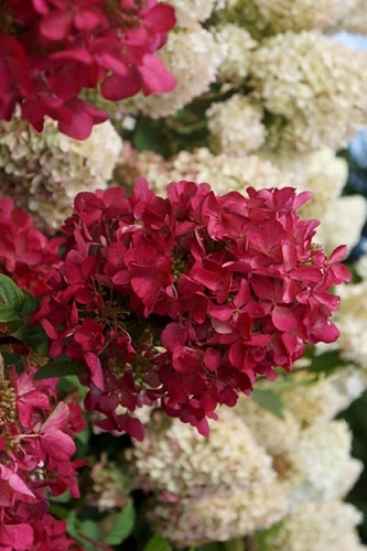 Diamond Rouge Hydrangea - 3 Gallon Pot