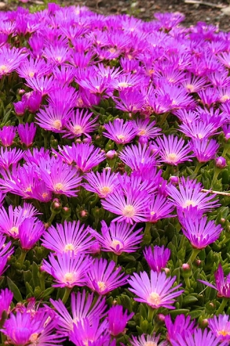 Cold Hardy Purple Ice Plant (Delosperma cooperi) - 1 Gallon