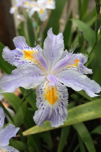 Eco Easter Fringed Iris - Quart Pot
