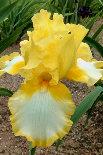 Fringe Of Gold Reblooming Bearded Iris - 1 Gallon Pot
