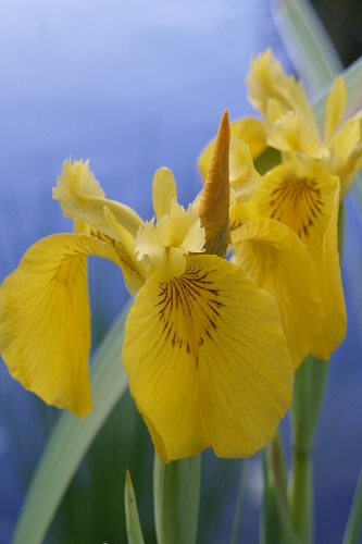 Yellow Flag Iris - 1 Gallon Pot