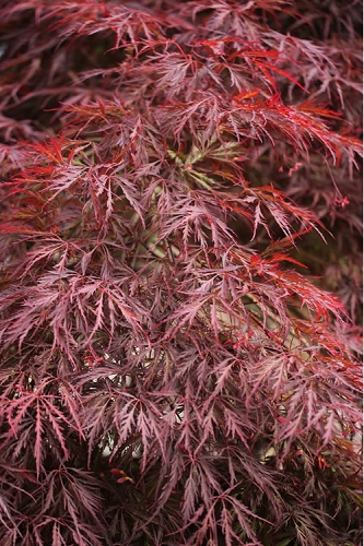 Firefall Lace Leaf Japanese Maple - 1 Gallon Pot