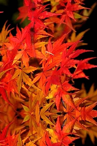 Glowing Embers Japanese Maple - 3 Gallon Pot